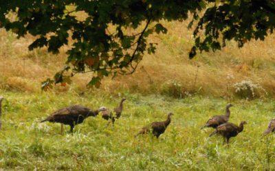 The Turkeys